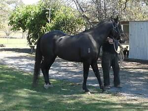 Black Quarter Horse Stallion Mondrook Greater Taree Area Preview