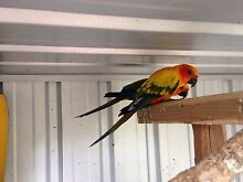 Sun Conure & Jenday Conures Highfields Toowoomba Surrounds Preview