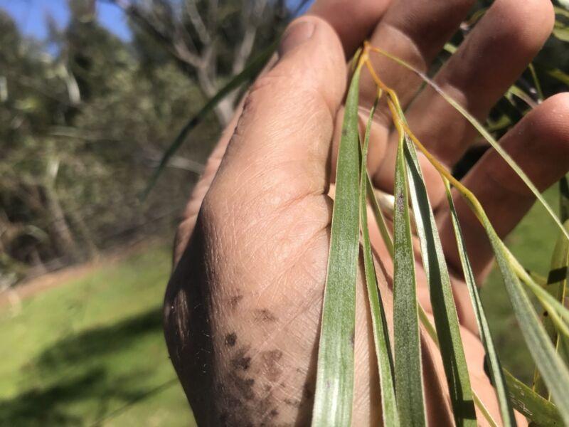 Leather Tanning Acacia Acuminata Narrow Phylode 47leaves Small