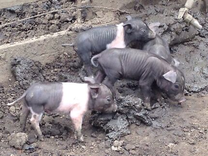 Pig, piglets Bridgeman Downs Brisbane North East Preview