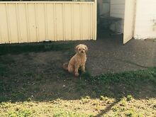 Toy Poodle available for servicing Newcastle 2300 Newcastle Area Preview