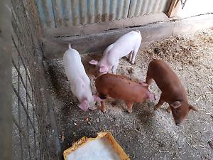 Freerange Piglets Carpendeit Corangamite Area Preview