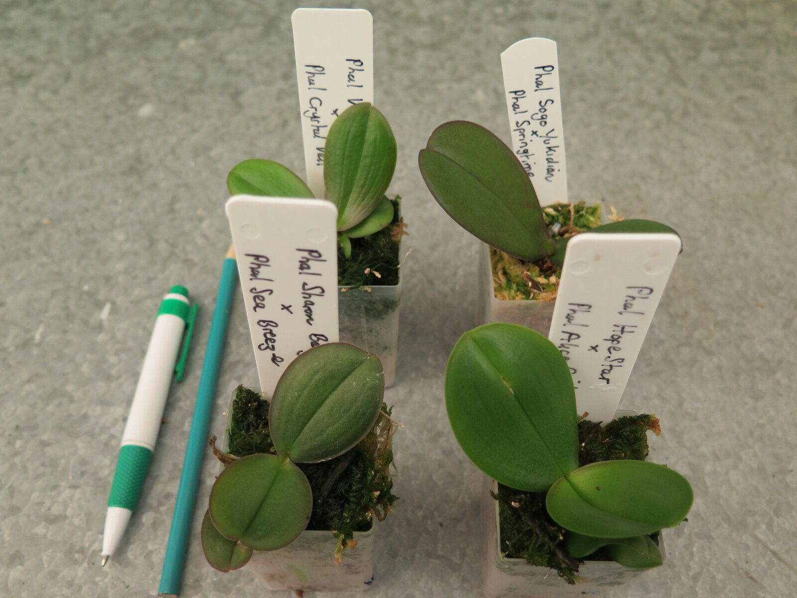 Lyttle Orchid Clones