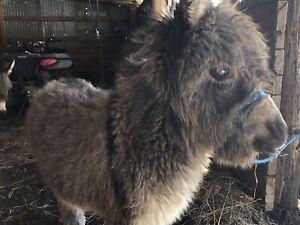 Mini jennet donkey