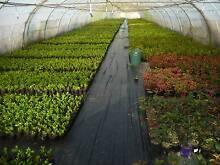 HEDGE PLANTS BUXUS , MURRAYAS , GARDENIAS, PHOTINIAS ,ETC. Liverpool Liverpool Area Preview