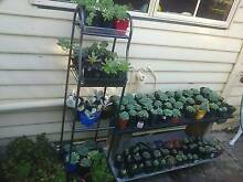 Succulents for sale $3 each or 4 for $10 Otago Clarence Area Preview