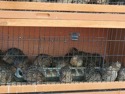 60 Organically Raised Fertile Hatching Pharaoh Jumbo Brown Coturnix Quail Eggs