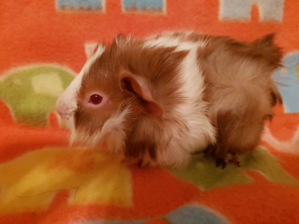 Baby Guinea Pigs Abyssinian and Smooth coat