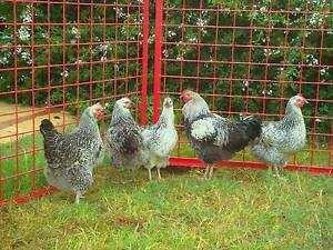 Chickens Silver Sussex Byford Serpentine Area Preview