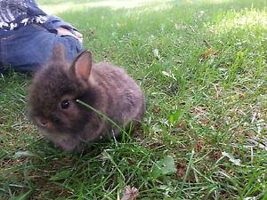 Adorable Baby Lion-head Rabbits available - one left