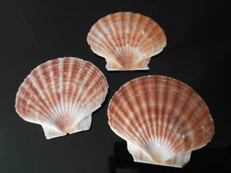 "12 Irish Flat Scallops Shells Seashells 3-4"" Crafts Beach Cottage Nautical Deco"