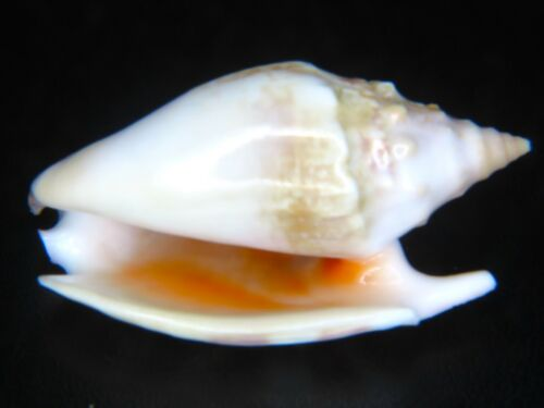 STROMBUS BULLA: RARELY OFFERED GIANT SIZE @ 71.64MM!