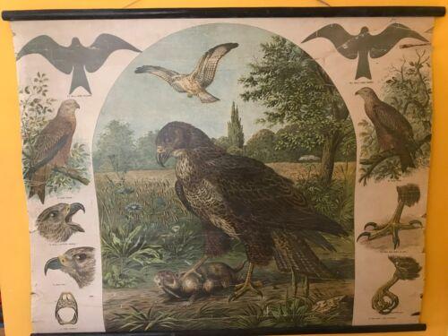 Rare WALL CHART,ALBERT KULL, LITHOGRAPHED , Hawk , Buzzard