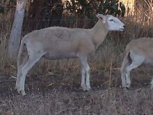 Wiltipol Ewes for sale! Meadows Mount Barker Area Preview