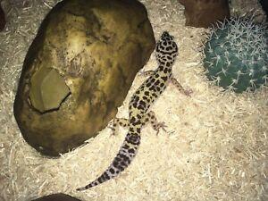 1 gecko léopard + terrarium + accessoires