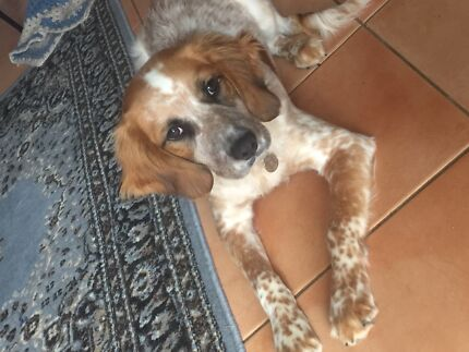 Louie the 2nd gen beagle x cavalier needs a forever home Lambton Newcastle Area Preview