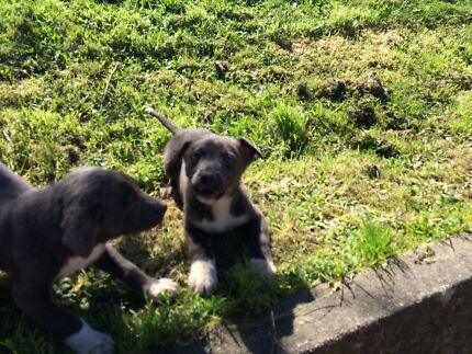 Border Collie x Coolie Bairnsdale East Gippsland Preview