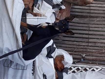Kelpie Dog......pure breed.......plus dog house....Sydney