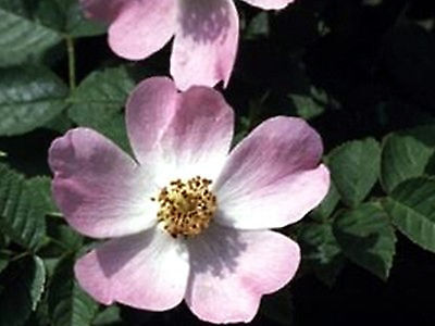 Wild Rose Multi-Potency Bach Flower Essence Remedy 15 ml - Given Up & Resigned ()