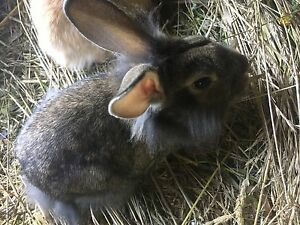 Mixed breed bunnies for sale!