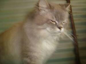 Ragdoll Male Cat Glen Martin Dungog Area Preview