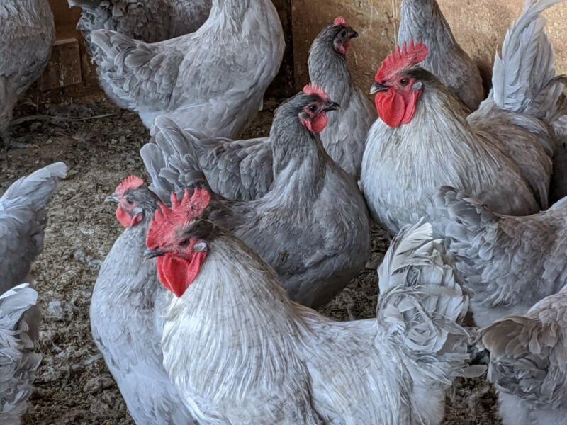 12 Fertile Lavender Orpington Hatching Eggs NPIP Certified