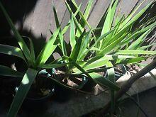 Yukka plant in pot $5 each Bundoora Banyule Area Preview