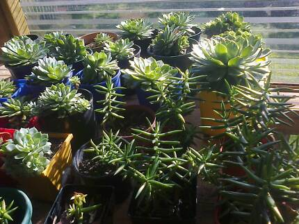Established Succulents For Sale Otago Clarence Area Preview