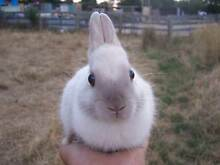 Purebred Lilac Point Netherland Dwarf Rabbit Buck For Sale. Bayswater Knox Area Preview
