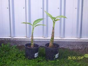 Dracaena Massangeana (Corn Plant) Pimpama Gold Coast North Preview