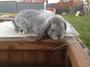 Mini lip rabbits Ulverstone Central Coast Preview