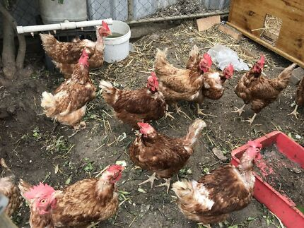 Chickens daily fresh