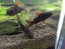 Rare Black Corydoras catfish Strathfield Strathfield Area Preview