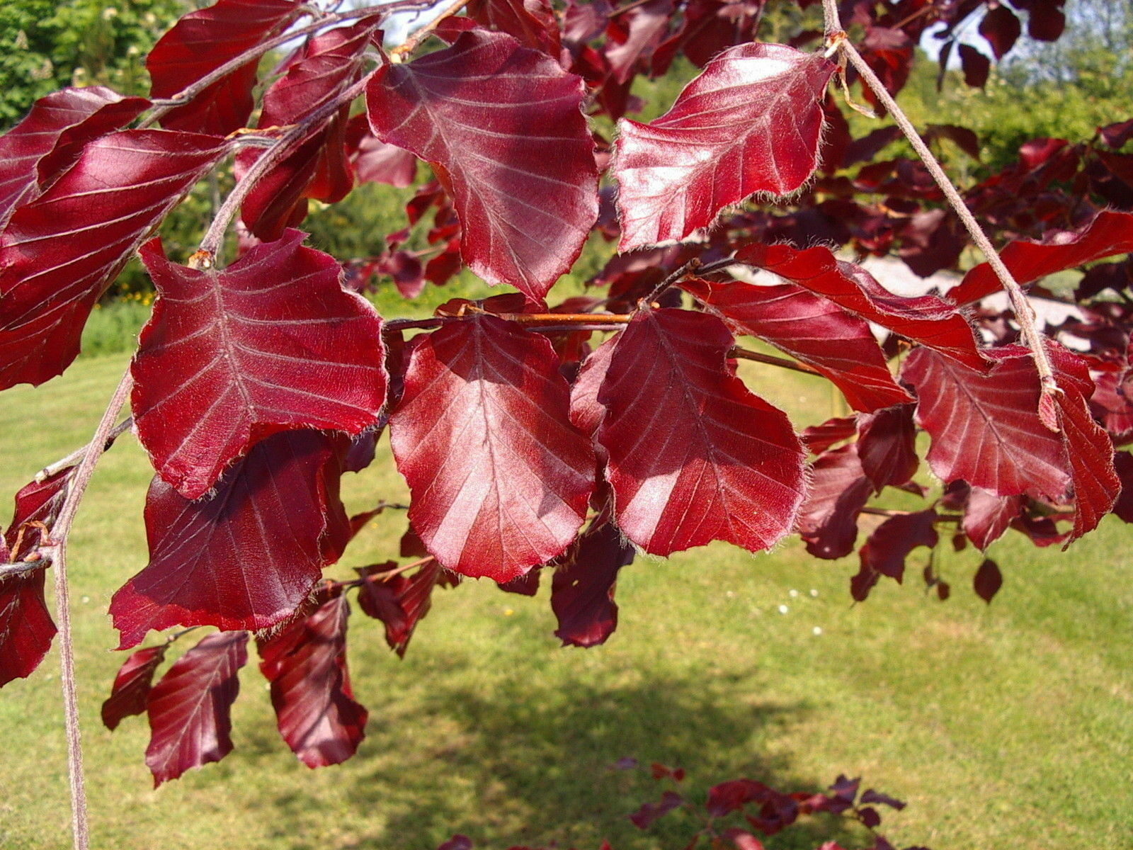 15 Copper Beech 3 4ft Purple Hedging Trees Stunning All Year Colour 90 120cm