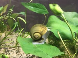 Large apple snails for sale