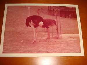 1973-Singapore-Zoo-Color-Photograph-View-of-A-Pair-of-Ostriches