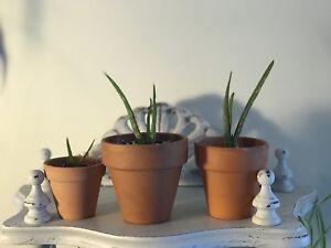 Aloe Vera Plant Babies