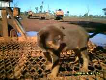 Kelpie pup for sale Warwick Southern Downs Preview