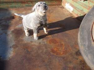 Gumtree Dogs And Puppies Australia