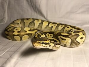Python Royal de phase A VENDRE