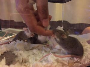 Young Mice Need Home