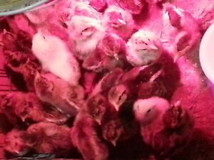 mixed breed chicks  for sale