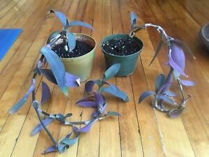 Rooted Purple Heart cutting