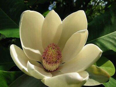 Houpu Magnolia, Magnolia-bark Magnolia (Magnolia officinalis) 15 seeds  ()