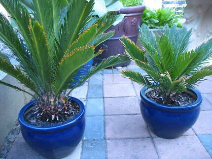 GOLDEN TIP LEAF Cycard plants for sale in pair