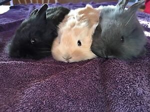 Lion Head baby bunnies/rabbits