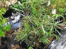 Bamboo Plants North Isis Bundaberg Surrounds Preview
