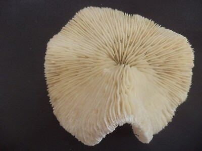 24 Coral Shell - Coral White Mushroom Natural Decor aquarium reef 133mm red sea salt dried 24-13