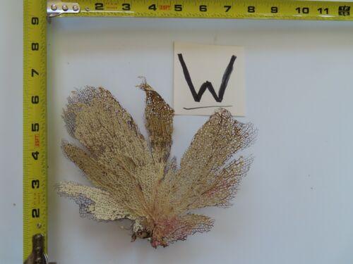 Natural Sea Fan - Coral - Sea Whip - Free Shipping