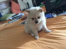 Pomeranian  male very tiny  good home only needled wormed mic Karalee Ipswich City Preview